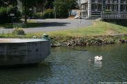 swan-and-cygnet-at-traben-trarbach-001_3619084318_o