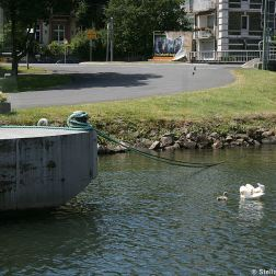 swan-and-cygnet-at-traben-trarbach-001_3619084318_o