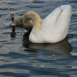 swan-and-cygnet-at-traben-trarbach-002_3619084608_o