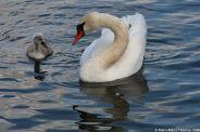 swan-and-cygnet-at-traben-trarbach-003_3618265127_o