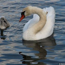 swan-and-cygnet-at-traben-trarbach-003_3618265127_o