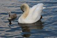 swan-and-cygnet-at-traben-trarbach-004_3618265411_o