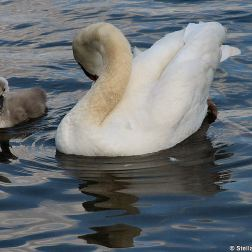 swan-and-cygnet-at-traben-trarbach-004_3618265411_o