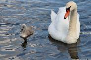 swan-and-cygnet-at-traben-trarbach-005_3619085426_o