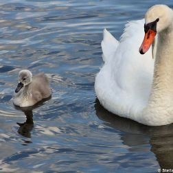 swan-and-cygnet-at-traben-trarbach-005_3619085426_o
