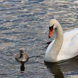 swan-and-cygnet-at-traben-trarbach-006_3618266073_o