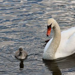 swan-and-cygnet-at-traben-trarbach-006_3618266073_o