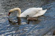 swan-and-cygnet-at-traben-trarbach-007_3619086206_o