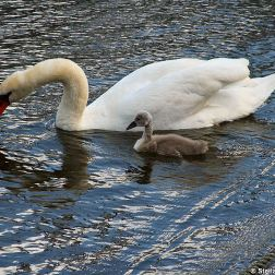 swan-and-cygnet-at-traben-trarbach-007_3619086206_o