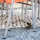 macau-sparrows-001_3025284470_o