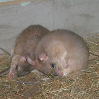 marwell-zoological---elephant-shrews-001_3074836733_o