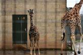 marwell-zoological---giraffes-004_3074837197_o