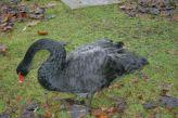 marwell-zoological-park---black-swan-001_3074837367_o