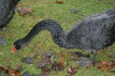 marwell-zoological-park---black-swan-003_3075672286_o