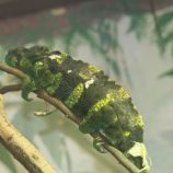marwell-zoological-park---chameleon-001_3075672590_o