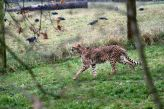 marwell-zoological-park---cheetah-001_3074838213_o