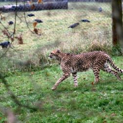 marwell-zoological-park---cheetah-001_3074838213_o