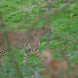 marwell-zoological-park---cheetah-002_3075672942_o