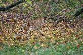 marwell-zoological-park---cheetah-003_3074838639_o