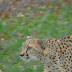 marwell-zoological-park---cheetah-004_3074838815_o