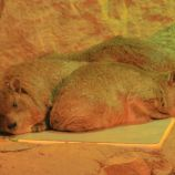marwell-zoological-park---dessert-rodents-001_3074839273_o