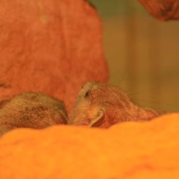 marwell-zoological-park---dessert-rodents-002_3075673916_o