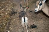 marwell-zoological-park---dorcas-gazelles-002_3075674312_o