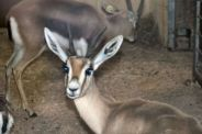 marwell-zoological-park---dorcas-gazelles-003_3074839905_o