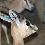 marwell-zoological-park---dorcas-gazelles-004_3074840085_o