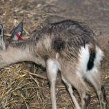 marwell-zoological-park---dorcas-gazelles-005_3075674876_o