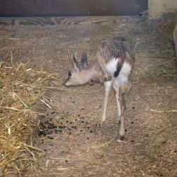 marwell-zoological-park---dorcas-gazelles-006_3074840899_o