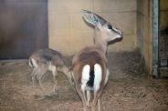marwell-zoological-park---dorcas-gazelles-007_3074841055_o