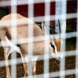 marwell-zoological-park---dorcas-gazelles-008_3075675732_o