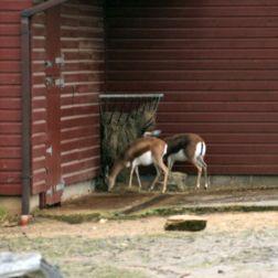 marwell-zoological-park---dorcas-gazelles-009_3075675900_o