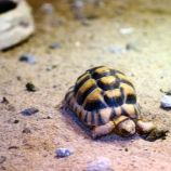 marwell-zoological-park---egyptian-tortoise-001_3075676028_o