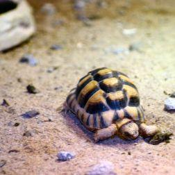 marwell-zoological-park---egyptian-tortoise-001_3075676028_o