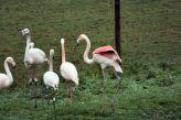 marwell-zoological-park---flamingoes-001_3074841845_o