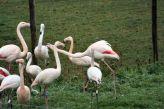 marwell-zoological-park---flamingoes-002_3075676600_o