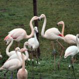 marwell-zoological-park---flamingoes-003_3075677572_o