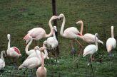 marwell-zoological-park---flamingoes-003_3075677572_o