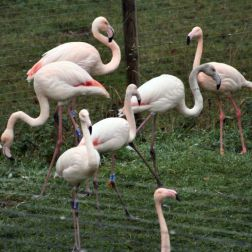 marwell-zoological-park---flamingoes-004_3074843917_o