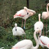 marwell-zoological-park---flamingoes-005_3075678880_o