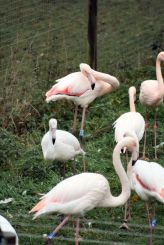 marwell-zoological-park---flamingoes-005_3075678880_o