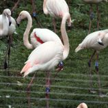 marwell-zoological-park---flamingoes-006_3075679004_o