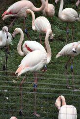 marwell-zoological-park---flamingoes-006_3075679004_o