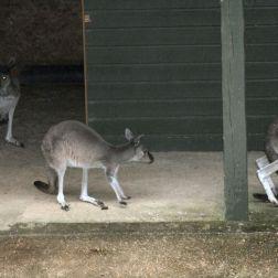 marwell-zoological-park---kangaroos-001_3074845377_o