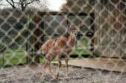 marwell-zoological-park---kudu-002_3075681210_o