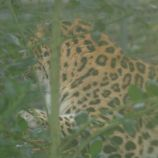 marwell-zoological-park---leopard-001_3074846505_o
