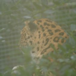 marwell-zoological-park---leopard-002_3074846609_o