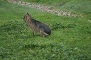 marwell-zoological-park---mara-001_3075681806_o
